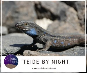 tenerife-lizard-teide-by-night