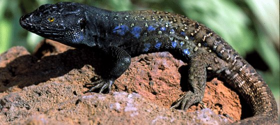 teide_lizard_found_teide_by_night_elegant_excursio