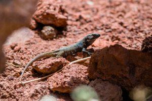 Tenerife Lizard in the sunlight
