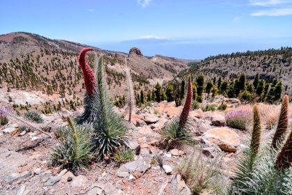 Red Tajinaste Flower in the Teide National Park