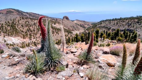 Red Tajinaste Flower in the Teide National Park