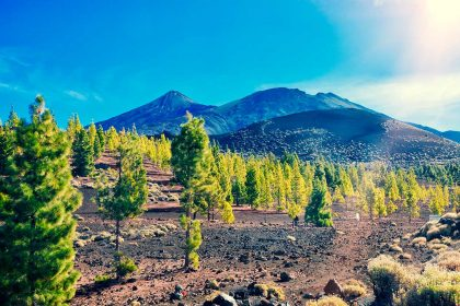 Pine Trees in Teide National Park